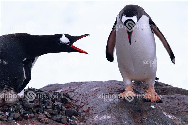 图片编号:132762 图片分类:世界之窗世界之窗 图片地区:无 下载图尺寸:4896*3264 下载图大小:JPEG:14MB 图片说明:南极企鹅是海洋鸟类,虽然它们有时也在陆地、冰原和海冰上栖息。在企鹅的一生中,生活在海里和陆上的时间各占一半。各种企鹅的栖息地和分布区域各有不同,帝企鹅喜欢在冰架和海冰上栖息;阿德利和金图企鹅既可以在海冰上,又可以在无冰区的露岩上生活,在亚南极的企鹅,大都喜欢在无冰区的岩石上栖息,并常用石块筑巢。 图片关键字:南极,旅游,企鹅,海洋鸟类,世界之窗,南极洲  组图编号:1