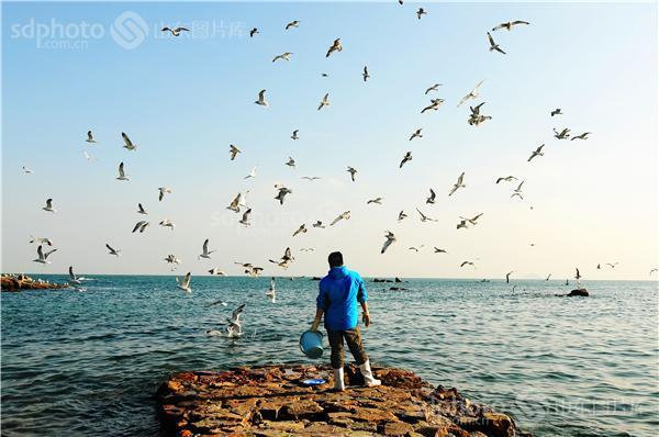 大批越冬海鸥起舞青岛极地海洋世界