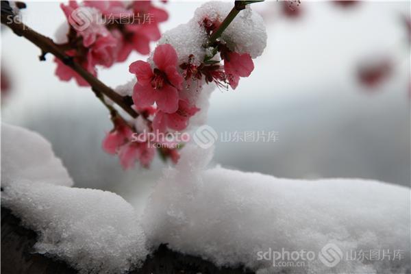 图片关键字:雪景,雪花,桃花,桃树,树枝,冬季,冬天