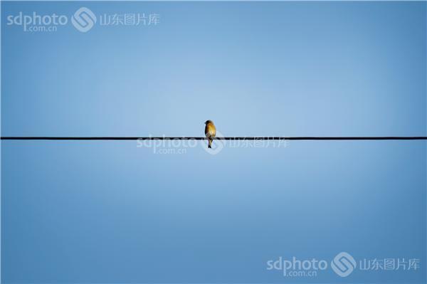 电线杆小鸟素材