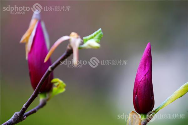 图片关键字:玉兰花,木兰科落叶乔木,花,花卉,植物,花木,玉兰,鲜花