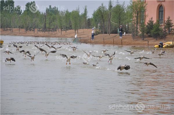 国家二级保护动物黑天鹅