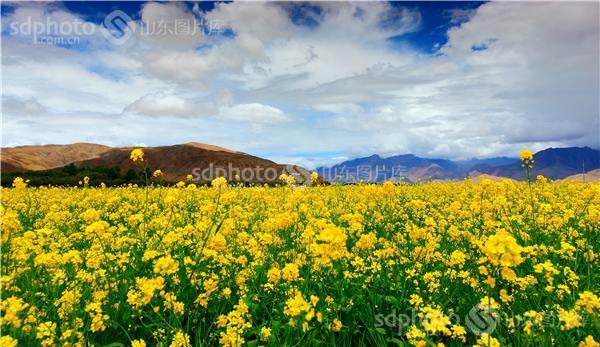 图片关键字:西藏,风光,西藏风光,西藏旅游,自然环境,生态环境,油菜花