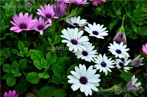 图片关键字:雏菊,雏菊花,菊花,花,鲜花,花丛,花卉,植物,生态环境