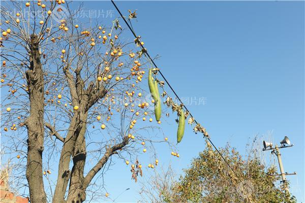 柿树蚧螨虫防治