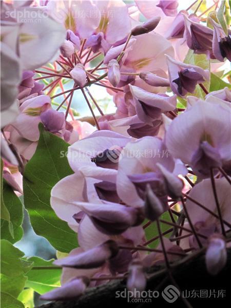 中国画,李白,城市建设,园林绿化,寓意,爱情,植物,树,济宁 花 紫藤树