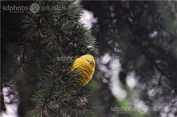 图片编号:204815 图片分类:自然资源生态环境 图片地区:莱芜 下载图尺寸:4288*2848 下载图大小:JPEG:1MB 图片说明:生长了近三十年的塔松今年结果了。 图片关键字:塔松果,塔松,松树,果实,果子,生态,自然,植物,结果,果实,松果,树  组图编号:128526 组图名称:塔松果 组图说明:生长了近三十年的塔松今年结果了。 组图关键词:塔松果,塔松,松树,果实,果子,生态,自然,植物,结果,果实,松果,树