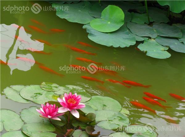 组图关键词:荷塘,莲鱼图,睡莲,莲花,花,花卉,植物,金鱼,鱼