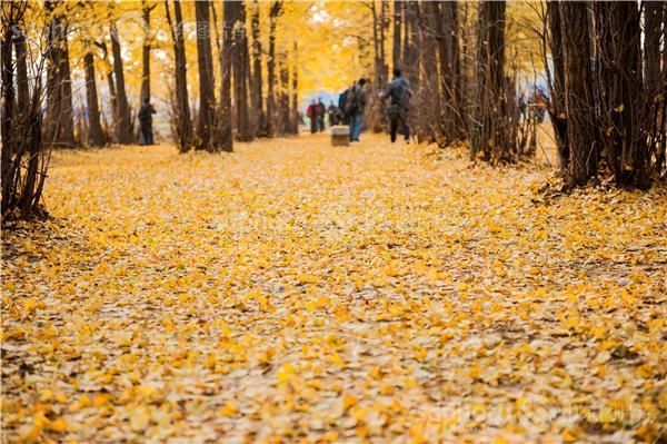 图片编号:216578 图片分类:自然资源生态环境 图片地区:临沂 下载图尺寸:4256*2832 下载图大小:JPEG:5MB 图片说明:临沂银杏林。 图片关键字:临沂,银杏,银杏林,银杏树,黄树叶,森林,落叶,树叶,树林,白果树,休闲,田园风光,风景区,景点,摄影,风光,自然,秋天,秋景,秋色,金黄  组图编号:129255 组图名称:临沂银杏林 组图说明:临沂银杏林。 组图关键词:临沂,银杏,银杏林,银杏树,黄树叶,森林,落叶,树叶,树林,白果树,休闲,田园风光,风景区,景点,摄影,风光,自然,秋天