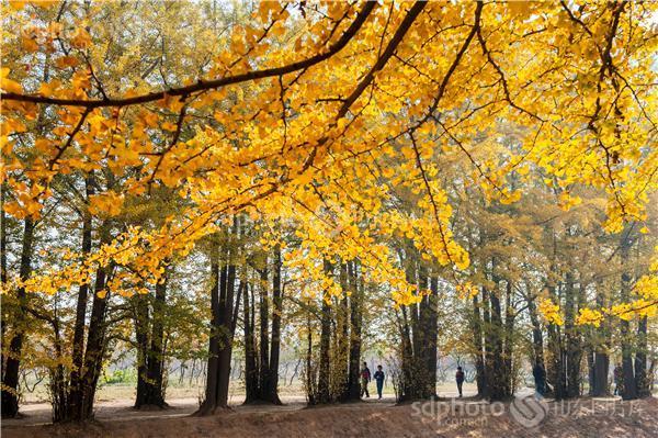 图片编号:216549 图片分类:自然资源生态环境 图片地区:临沂 下载图尺寸:4256*2832 下载图大小:JPEG:8MB 图片说明:临沂银杏林。 图片关键字:临沂,银杏,银杏林,银杏树,黄树叶,森林,落叶,树叶,树林,白果树,休闲,田园风光,风景区,景点,摄影,风光,自然,秋天,秋景,秋色,金黄  组图编号:129255 组图名称:临沂银杏林 组图说明:临沂银杏林。 组图关键词:临沂,银杏,银杏林,银杏树,黄树叶,森林,落叶,树叶,树林,白果树,休闲,田园风光,风景区,景点,摄影,风光,自然,秋天