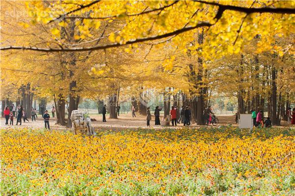 图片编号:216557 图片分类:自然资源生态环境 图片地区:临沂 下载图尺寸:4256*2832 下载图大小:JPEG:7MB 图片说明:临沂银杏林。 图片关键字:临沂,银杏,银杏林,银杏树,黄树叶,森林,落叶,树叶,树林,白果树,休闲,田园风光,风景区,景点,摄影,风光,自然,秋天,秋景,秋色,金黄  组图编号:129255 组图名称:临沂银杏林 组图说明:临沂银杏林。 组图关键词:临沂,银杏,银杏林,银杏树,黄树叶,森林,落叶,树叶,树林,白果树,休闲,田园风光,风景区,景点,摄影,风光,自然,秋天