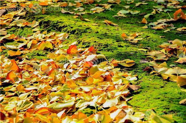 图片编号:216594 图片分类:自然资源生态环境 图片地区:临沂 下载图尺寸:4288*2848 下载图大小:JPEG:4MB 图片说明:落叶。 图片关键字:银杏林,黄树叶,落叶,树叶,自然,秋天,秋景,秋色,金黄,银杏叶  组图编号:129255 组图名称:临沂银杏林 组图说明:临沂银杏林。 组图关键词:临沂,银杏,银杏林,银杏树,黄树叶,森林,落叶,树叶,树林,白果树,休闲,田园风光,风景区,景点,摄影,风光,自然,秋天,秋景,秋色,金黄