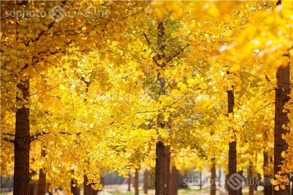银杏树,黄树叶,森林,落叶,树叶,树林,白果树,休闲,田园风光,风景区