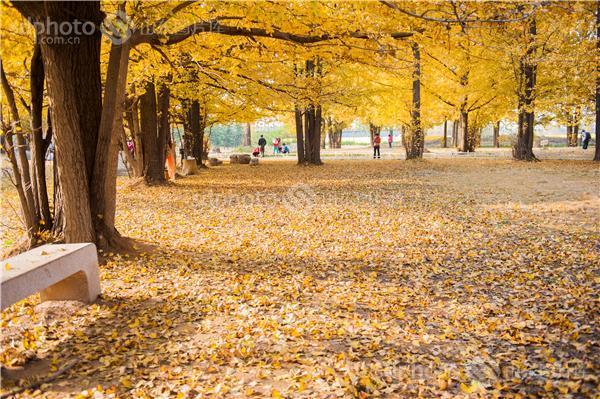 图片编号:216588 图片分类:自然资源生态环境 图片地区:临沂 下载图尺寸:4256*2832 下载图大小:JPEG:7MB 图片说明:临沂银杏林。 图片关键字:临沂,银杏,银杏林,银杏树,黄树叶,森林,落叶,树叶,树林,白果树,休闲,田园风光,风景区,景点,摄影,风光,自然,秋天,秋景,秋色,金黄  组图编号:129255 组图名称:临沂银杏林 组图说明:临沂银杏林。 组图关键词:临沂,银杏,银杏林,银杏树,黄树叶,森林,落叶,树叶,树林,白果树,休闲,田园风光,风景区,景点,摄影,风光,自然,秋天