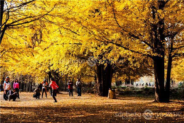 银杏树,黄树叶,森林,落叶,树叶,树林,白果树,休闲,田园风光,风景区,景