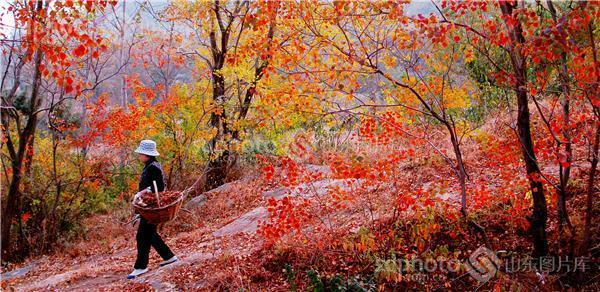图片关键字:沂蒙,景色,临沂,马山,金秋,秋色,秋季,秋景,红色,红叶