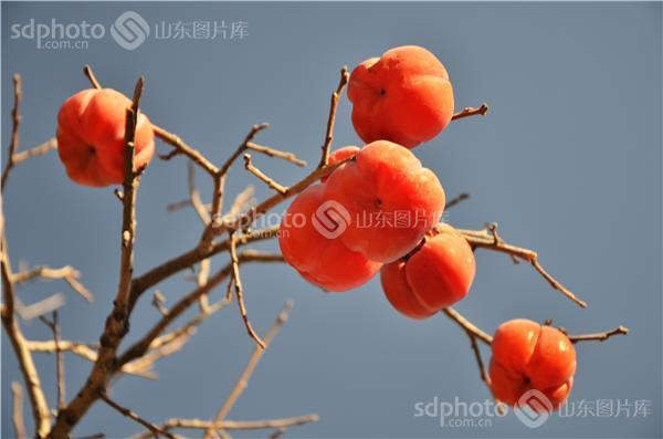 组图关键词:金秋,秋天,秋季,果实,果树,柿子,柿子树,果实,收获,丰收