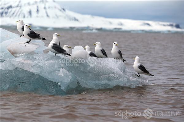 图片编号:236006 图片分类:世界之窗世界之窗 图片地区:无 下载图尺寸:5000*3333 下载图大小:JPEG:956KB 图片说明:生活在北极的鸟儿。 图片关键字:北极,极地,鸟,鸟类,鸟儿,动物,北极鸟,北极鸟类,北极动物,冰川,冰山,冰,野生,野生动物  组图编号:130306 组图名称:北极鸟类 组图说明:北极既是鸟类的王国,也是鸟类的天堂。一提起鸟类,立刻会激起人们无尽的联想。它们那光彩斑斓的羽毛,婉转的歌喉,和谐的群体,温暖的巢穴,长途的迁涉部令人类为之羡慕不已。众所周知,地球最北端