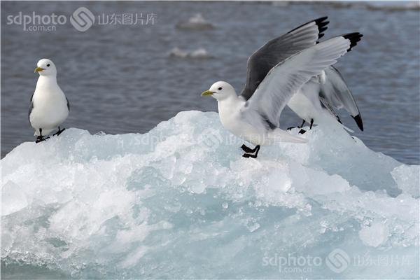 图片编号:236030 图片分类:世界之窗世界之窗 图片地区:无 下载图尺寸:5000*3333 下载图大小:JPEG:962KB 图片说明:生活在北极的鸟儿。 图片关键字:北极,极地,鸟,鸟类,鸟儿,动物,北极鸟,北极鸟类,北极动物,冰川,冰山,冰,野生,野生动物  组图编号:130306 组图名称:北极鸟类 组图说明:北极既是鸟类的王国,也是鸟类的天堂。一提起鸟类,立刻会激起人们无尽的联想。它们那光彩斑斓的羽毛,婉转的歌喉,和谐的群体,温暖的巢穴,长途的迁涉部令人类为之羡慕不已。众所周知,地球最北端