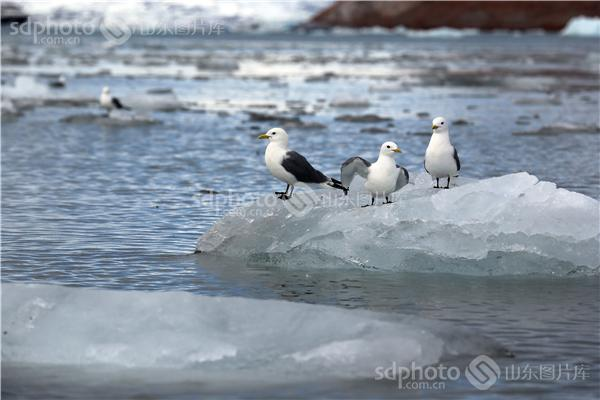 北极,极地,鸟,鸟类,鸟儿,动物,北极鸟,北极鸟类,北极动物,冰川,冰