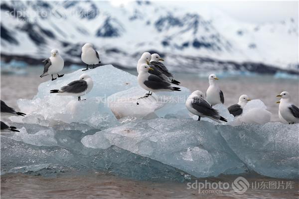 图片编号:236005 图片分类:世界之窗世界之窗 图片地区:无 下载图尺寸:5000*3333 下载图大小:JPEG:1MB 图片说明:生活在北极的鸟儿。 图片关键字:北极,极地,鸟,鸟类,鸟儿,动物,北极鸟,北极鸟类,北极动物,冰川,冰山,冰,野生,野生动物  组图编号:130306 组图名称:北极鸟类 组图说明:北极既是鸟类的王国,也是鸟类的天堂。一提起鸟类,立刻会激起人们无尽的联想。它们那光彩斑斓的羽毛,婉转的歌喉,和谐的群体,温暖的巢穴,长途的迁涉部令人类为之羡慕不已。众所周知,地球最北端北