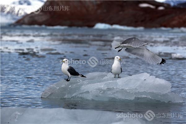 图片编号:236023 图片分类:世界之窗世界之窗 图片地区:无 下载图尺寸:5000*3333 下载图大小:JPEG:860KB 图片说明:生活在北极的鸟儿。 图片关键字:北极,极地,鸟,鸟类,鸟儿,动物,北极鸟,北极鸟类,北极动物,冰川,冰,野生,野生动物  组图编号:130306 组图名称:北极鸟类 组图说明:北极既是鸟类的王国,也是鸟类的天堂。一提起鸟类,立刻会激起人们无尽的联想。它们那光彩斑斓的羽毛,婉转的歌喉,和谐的群体,温暖的巢穴,长途的迁涉部令人类为之羡慕不已。众所周知,地球最北端北极