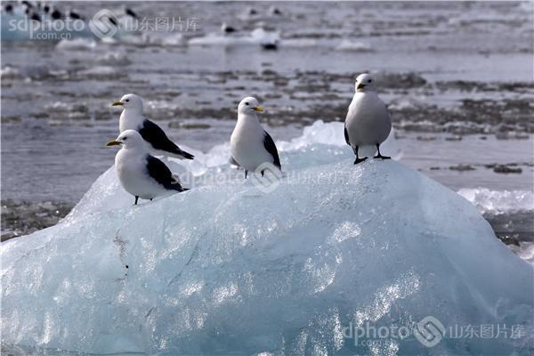 图片编号:236019 图片分类:世界之窗世界之窗 图片地区:无 下载图尺寸:5000*3333 下载图大小:JPEG:1MB 图片说明:生活在北极的鸟儿。 图片关键字:北极,极地,鸟,鸟类,鸟儿,动物,北极鸟,北极鸟类,北极动物,冰川,冰山,冰,野生,野生动物  组图编号:130306 组图名称:北极鸟类 组图说明:北极既是鸟类的王国,也是鸟类的天堂。一提起鸟类,立刻会激起人们无尽的联想。它们那光彩斑斓的羽毛,婉转的歌喉,和谐的群体,温暖的巢穴,长途的迁涉部令人类为之羡慕不已。众所周知,地球最北端北