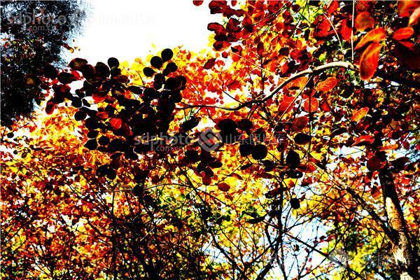国家首批4a级旅游风景区,植物,树林,树木,秋,秋景,秋季,秋天,红叶