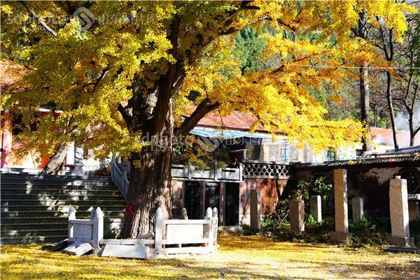 石莱镇,白马寺,秋天,旅游,银杏树,秋,秋季,银杏王,古树,老树,千年树