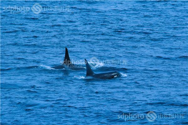 与偶蹄目在生物分类上又属于鲸与河马所属的鲸偶蹄目