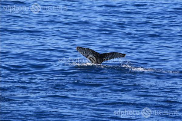 图片关键字:南极,海,海洋,鲸鱼,动物,海水,海,大海,极地,水面,游泳