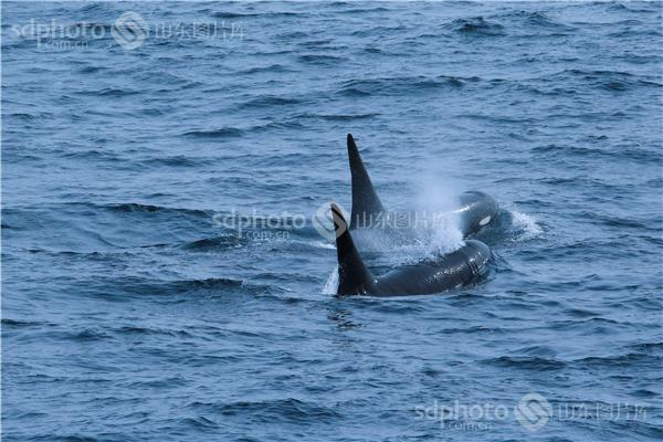蓝鲸的画法步骤