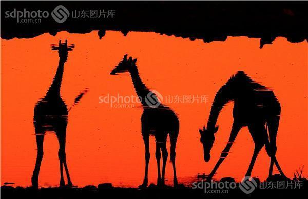 动物剪影长颈鹿