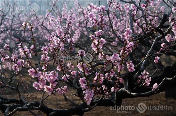 图片编号:265227 图片分类:自然资源生态环境 图片地区:青岛 下载图尺寸:4173*2756 下载图大小:JPEG:2MB 图片说明:青岛中山公园内的桃花。 图片关键字:青岛,桃花,水蜜桃,中山公园,太平山,桃花园,花,花卉,植物,春,春天,春景,春季  组图编号:132463 组图名称:青岛中山公园桃花盛开如绯云 组图说明:时下,正值青岛中山公园桃花盛开时节,漫步在那如彩霞绯云般的桃花园中,确是一大乐事。青岛中山公园的这片水蜜桃,果实香甜味美,是青岛鼎鼎有名的优质水果,曾一度行销京津。 组图关键词