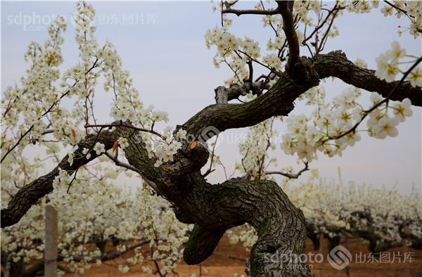 图片关键字:莱阳,梨花,花,花卉,植物,树,树木,植被,树林,花海,田园