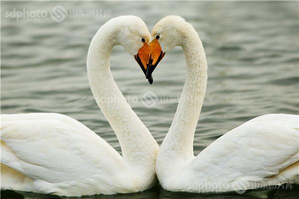 图片编号:267277 图片分类:自然资源生态环境 图片地区:综合 下载图尺寸:3400*2266 下载图大小:JPEG:2MB 图片说明:一对鸭子在水中组成了心型。 图片关键字:鸭子,鸭,亲情,情感,动物请,动物,动物摄影,爱情  组图编号:132671 组图名称:生命力 组图说明:大自然间的万物生生相息,处处体现了温暖的情之所在。 组图关键词:自然,动物,动物摄影,生态摄影,鸭,鸭子,亲情,戴胜,鸟,花,花卉,鲜花,梅花,哺育,人与自然