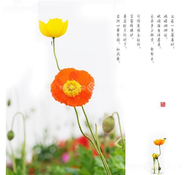 图片编号:267566 图片分类:自然资源生态环境 图片地区:滨州 下载图尺寸:3870*3664 下载图大小:JPEG:4MB 图片说明:虞美人,是妩媚的、妖娆的、婀娜的。 图片关键字:虞美人,春天,春,春花,春季,春景,花草,装饰画素材,花,花卉,植物,鲜花,画意摄影,绘画主义摄影  组图编号:132710 组图名称:虞美人 组图说明:虞美人,是妩媚的、妖娆的、婀娜的。有些招摇,甚至有些轻佻。它浓艳里缺少些庄重,轻快里又少了些纯粹。它很美,却没有给我太多好印象。但我仍然试着亲近它,了解它,解读它。也许