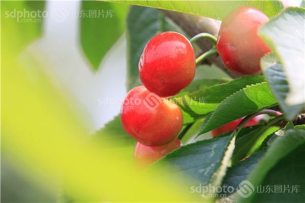 图片关键字:樱桃,树,果园,果树,树林,水果,果实,绿色,植物,红色