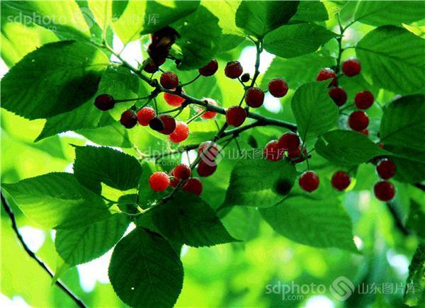 樱桃果树的叶子图片