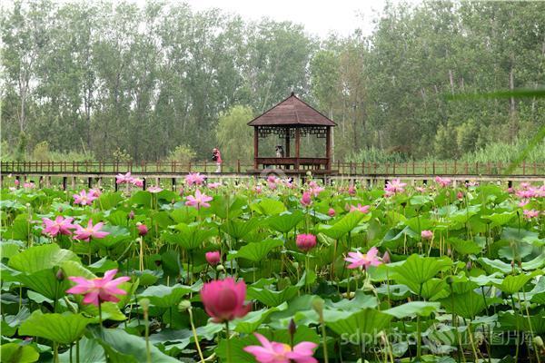 图片关键字:滕州,枣庄,旅游,运河文化,古城,风景,微山湖,红荷湿地