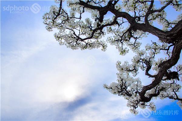 图片关键字:梨花,树,花卉,植物,鲜花,树枝,蓝天,蓝色,树林 组图编号