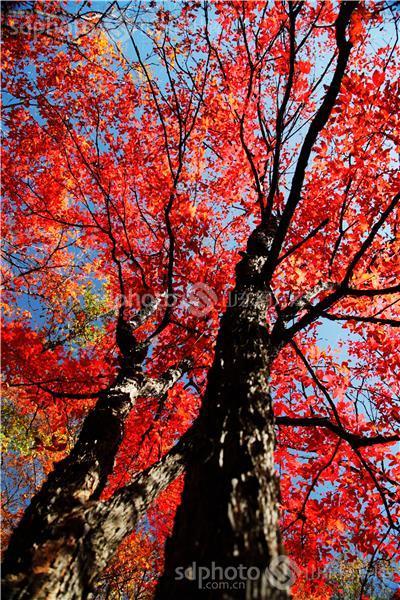 枫树的树皮简笔画