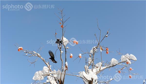 济宁 济宁市 微山湖 微山 雪 雪景 冬 冬季 冬景 柿子 柿子树 果树