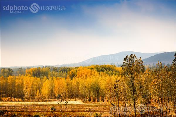 图片关键字:秋,秋天,秋季,树,树木,杨树,黄色,金黄,农业,农村,乡村