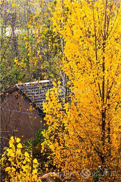 秋,秋天,秋季,树,树木,杨树,黄色,金黄,农业,农村,乡村,村庄,山区