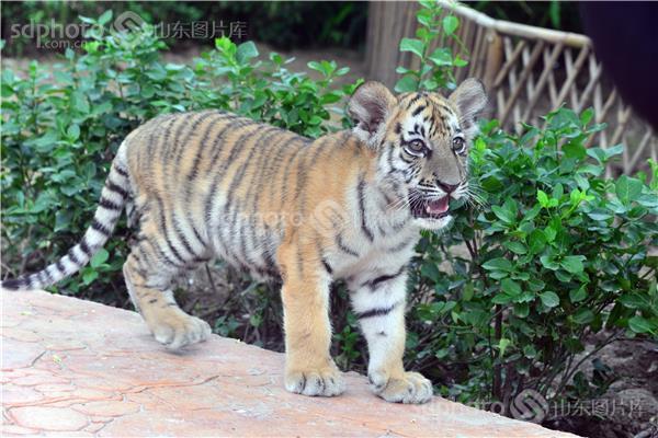 两只小老虎照实呆萌可爱