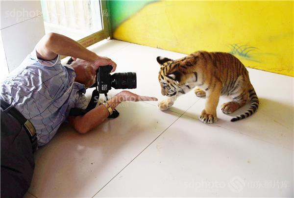 山东聊城:面对照相机镜头小老虎呆萌可爱