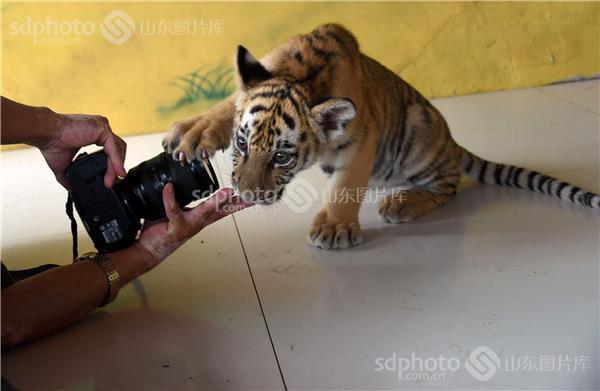 图片关键字:东北小老虎,动物园,珍稀动物,野生动物,聊城 聊城市 动物